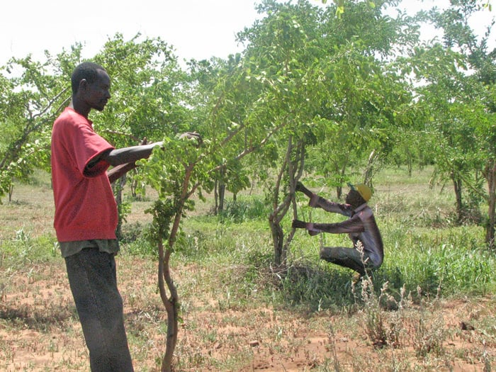 Makuyuni workers tending five year old mpingo trees