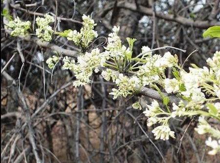 Dalbergia melanoxylon flowers