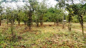 2018 - Mpingo acreage on grounds of Tanzania Police Training School.