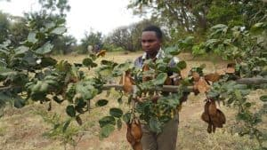2018 - Cyril Chuwa inspects mature seeds on mpingo trees on Academy training grounds.