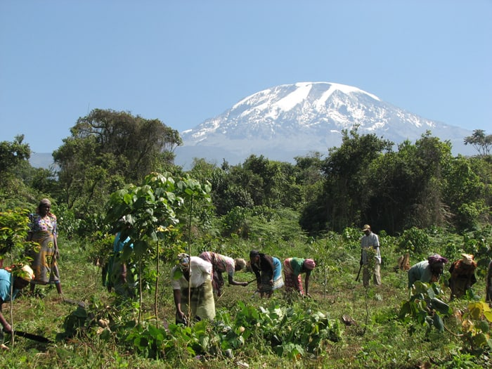 Groups organized at the community level cooperate to replant trees on the Kilimanjaro watershed in order to restore and preserve downstream water sources