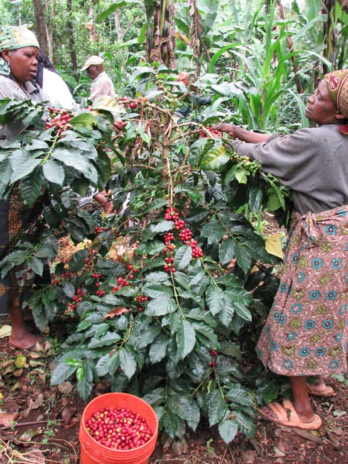 Coffee farmers of Kilimanjaro harvesting ripened coffee berries