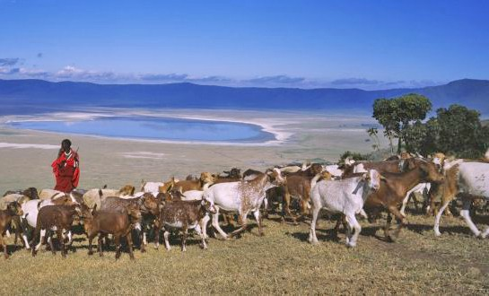 Maasai pastoralists are not allowed to live in Ngorongoro, but can take cattle there for water and forage