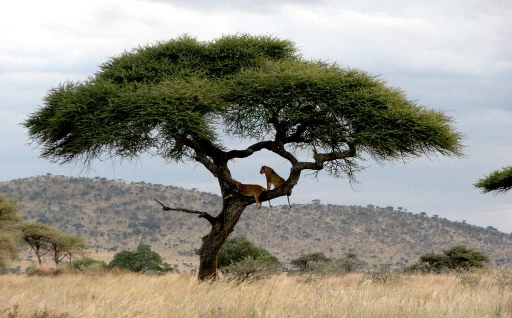 Tree climbing lioms of Serengeti Plain.