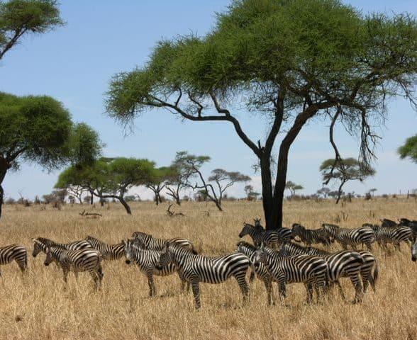 Zebra herd on the Serengeti
