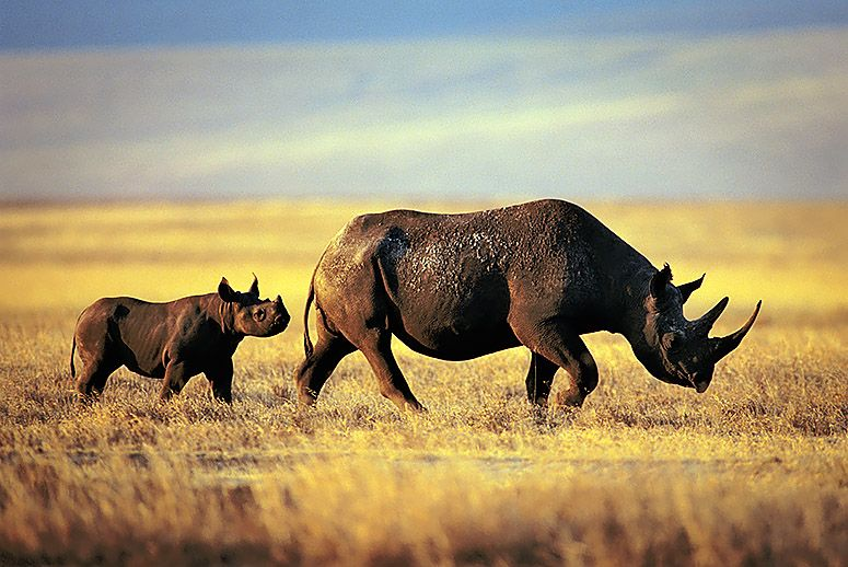 Endangered Black Rhinoceros with baby