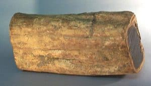 "Side view of mpingo log about 7"" (18 cm) in diameter and 18"" (45 cm) in length showing the yellowish band of sapwood that lies directly under the bark. Weight is 34.5 lbs (15.6 kg)."