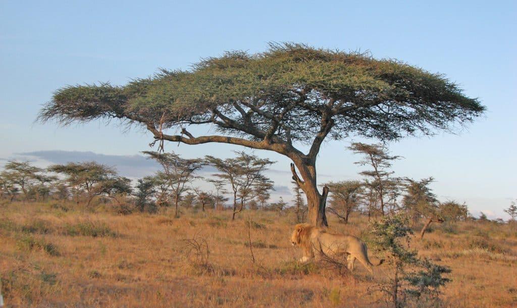Lion under acacia tree on African savannah